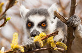 Ring-tailed lemurs (Lemur catta) eating — Foto Stock