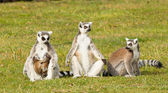 Ring-tailed lemurs family — Stock Photo