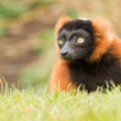 Red-bellied Lemur (Eulemur rubriventer) — Stock Photo #24986547