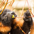 Red-bellied Lemur (Eulemur rubriventer) - Foto Stock