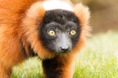 Red-bellied Lemur (Eulemur rubriventer) — 图库照片