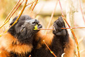 Red-bellied Lemur (Eulemur rubriventer) — Stockfoto