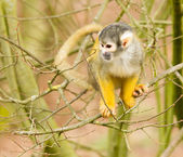 Common squirrel monkey playing — Stock Photo