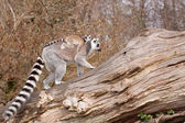 Young Ring-tailed lemur on the back of it's mother — 图库照片