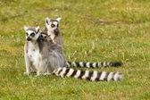 Ring-tailed lemurs family — Stock Photo