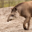 Stock Photo: Profile portrait of south American tapir