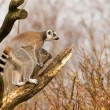 Ring-tailed lemurs (Lemur catta) in a tree — Foto Stock