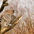 Ring-tailed lemurs (Lemur catta) in a tree — Stockfoto