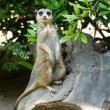 Meerkat standing upright — Stock Photo