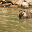 Oriental Small-Clawed Otter foraging — Stock Photo #26791025