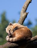 South American coati or ring-tailed coati (Nasua nasua) resting — Stock Photo