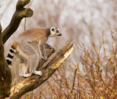 Ring-tailed lemurs (Lemur catta) in a tree — Stock Photo