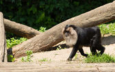 Lion-tailed macaque walking — Stock Photo
