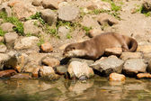 Oriental Small-Clawed Otter resting — Stock Photo