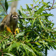 Common squirrel monkey sitting in a tree — Стоковая фотография