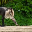 Lion-tailed macaque walking — Stock Photo #27222793