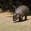 Stock Photo: Young Pygmy hippopotamus
