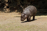 Young Pygmy hippopotamus — Stock Photo