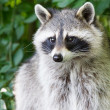 Adult raccoon portrait — Stock Photo