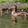 Mother duck with five ducklings — Stock Photo