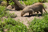 Banded mongoose foraging — Stock Photo