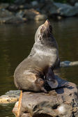 Female South American Fur Seal resting — Stock Photo