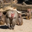 图库照片: Aggressive male baboon defending group