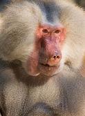 Male hamadryas baboon portrait — Stock Photo