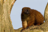 Red-bellied Lemur (Eulemur rubriventer) in a tree — Stock Photo
