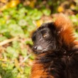 Red ruffed lemur portrait — Stock Photo