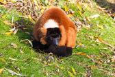 Red ruffed lemur resting — Stock Photo