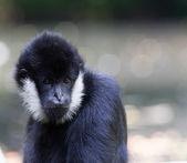Northern white-cheeked gibbon  portrait — Stock Photo