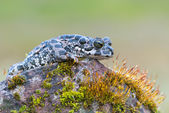 Bufo virdis — Stock Photo