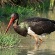 Stock Photo: Black Stork - Ciconinigra