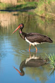 Black Stork - Ciconia nigra — Stock Photo