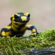 Stock Photo: Fire salamander