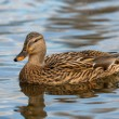Stock Photo: Mallard - Anas platyrhynchos