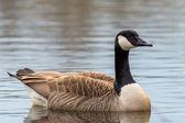 Canada goose - branta canadensis — Foto Stock