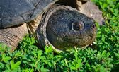 Snapping Turtle — Stock Photo