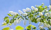 Rama cherry ave — Foto de Stock
