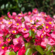 Bright pink flowers. — Stock Photo