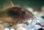 Corydoras catfish. — Stock Photo
