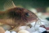 Corydoras catfish. — Stock Photo