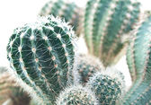Group of small cactus. — Stock Photo