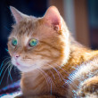 Lovely red cat. — Stock Photo #24153971