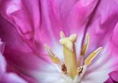Pink tulip. — Stock Photo