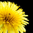 Dandelion flower. — Stock Photo