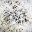 Stock Photo: Dandelion seed.