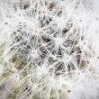 Dandelion seed. — Stock Photo