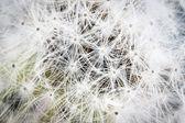 Dandelion seed. — Stock Photo